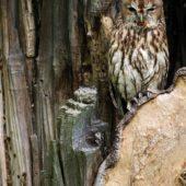 Puszczyk, Tawny Owl, Strix aluco, gm. Bobrowniki, SLK, 26.08.2016 (1) (Polska, Poland)