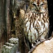 Puszczyk, Tawny Owl, Strix aluco, gm. Bobrowniki, SLK, 26.08.2016 (2) (Polska, Poland)