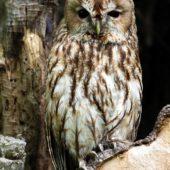 Puszczyk, Tawny Owl, Strix aluco, gm. Bobrowniki, SLK, 26.08.2016 (3) (Polska, Poland)