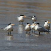Rybitwa królewska, Royal Tern, Thalasseus maximus, Dakhla Bay, Sahara Zachodnia, 06.03.2016 (1) (Western Sahara)