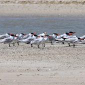 Rybitwa wielkodzioba, Caspian Tern, Hydroprogne caspia, Dakhla Bay, Sahara Zachodnia, 06.03.2016 (1) (Western Sahara)