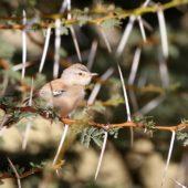 Sahelka, Cricket Warbler, Spiloptila clamans, Oued Jenna, Sahara Zachodnia, 04.03.2016 (4) (Western Sahara)