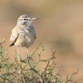 Skowron pustynny, Hoopoe Lark, Alaemon alaudipes, Akhfennir, Maroko, 03.03.2016 (1) (Morocco)