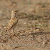 Skowrończyk arabski, Dunn`s Lark, Eremalauda dunni, Oued Jenna, Sahara Zachodnia, 05.03.2016 (1) (Western Sahara)