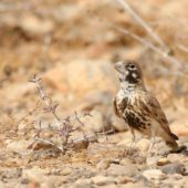 Skowroniak, Thick-billed Lark, Ramphocoris clotbey, Dakhla-Aousserd, Sahara Zachodnia, 05.03.2016 (1) (Western Sahara)