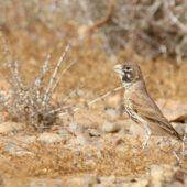 Skowroniak, Thick-billed Lark, Ramphocoris clotbey, Dakhla-Aousserd, Sahara Zachodnia, 05.03.2016 (2) (Western Sahara)