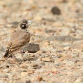 Skowroniak, Thick-billed Lark, Ramphocoris clotbey, Dakhla-Aousserd, Sahara Zachodnia, 05.03.2016 (3) (Western Sahara)