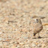 Skowroniak, Thick-billed Lark, Ramphocoris clotbey, Dakhla-Aousserd, Sahara Zachodnia, 05.03.2016 (4) (Western Sahara)
