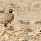 Skowroniak, Thick-billed Lark, Ramphocoris clotbey, Dakhla-Aousserd, Sahara Zachodnia, 05.03.2016 (5) (Western Sahara)
