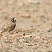Skowroniak, Thick-billed Lark, Ramphocoris clotbey, Dakhla-Aousserd, Sahara Zachodnia, 05.03.2016 (6) (Western Sahara)