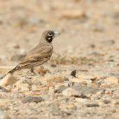 Skowroniak, Thick-billed Lark, Ramphocoris clotbey, Dakhla-Aousserd, Sahara Zachodnia, 05.03.2016 (7) (Western Sahara)