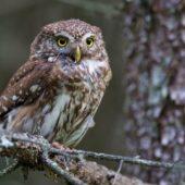 Sóweczka, Pygmy Owl, Glaucidium passerinum, Lasy Lublinieckie, 04.07.2016 (1) (Polska, Poland)