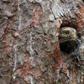 Sóweczka, Pygmy Owl, Glaucidium passerinum, Lasy Lublinieckie, 04.07.2016 (3) (Polska, Poland)