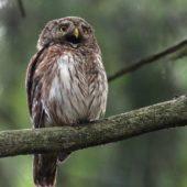 Sóweczka, Pygmy Owl, Glaucidium passerinum, Lasy Lublinieckie, 04.07.2016 (2) (Polska, Poland)