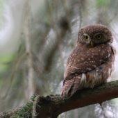 Sóweczka, Pygmy Owl, Glaucidium passerinum, Lasy Lublinieckie, 04.07.2016 (4) (Polska, Poland)