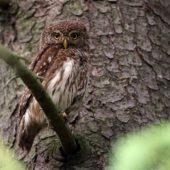 Sóweczka, Pygmy Owl, Glaucidium passerinum, Lasy Lublinieckie, 04.07.2016 (5) (Polska, Poland)