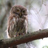 Sóweczka, Pygmy Owl, Glaucidium passerinum, Lasy Lublinieckie, 04.07.2016 (7) (Polska, Poland)