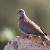 Synogarlica senegalska, Laughing Dove, Streptopelia senegalensis, Oued Massa, Maroko, 01.03.2016 (1) (Morocco)