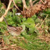 Trznadel szarogłowy, Black-faced Bunting, Emberiza spodocephala, Helgoland, Niemcy, 16.12.2014 (3) (Germany)