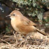 Tymal saharyjski, Fulvous Babbler, Turdoides fulva, Guelmim, Maroko, 02.03.2016 (5) (Morocco)