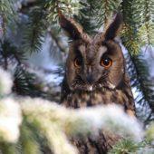 Uszatka, Long-eared Owl, Asio otus, gm. Siewierz, SLK, 21.12.2016 (1) (Polska, Poland)