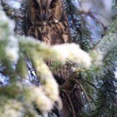 Uszatka, Long-eared Owl, Asio otus, gm. Siewierz, SLK, 21.12.2016 (2) (Polska, Poland)