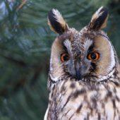 Uszatka, Long-eared Owl, Asio otus, gm. Siewierz, SLK, 21.01.2017 (2) (Polska, Poland)