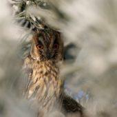 Uszatka, Long-eared Owl, Asio otus, gm. Siewierz, SLK, 21.12.2016 (3) (Polska, Poland)