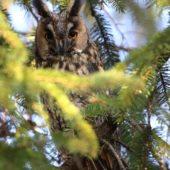 Uszatka, Long-eared Owl, Asio otus, gm. Siewierz, SLK, 21.12.2016 (4) (Polska, Poland)
