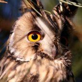 Uszatka, Long-eared Owl, Asio otus, gm. Siewierz, SLK, 21.12.2016 (5) (Polska, Poland)