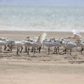 Warzęcha, Spoonbill, Platalea leucorodia, Dakhla Bay, Sahara Zachodnia, 06.03.2016 (1) (Western Sahara)