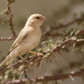 Wróbel pustynny, Desert Sparrow, Passer simplex, Aousserd, Sahara Zachodnia, 05.03.2016 (1) (Western Sahara)