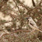 Wróbel pustynny, Desert Sparrow, Passer simplex, Aousserd, Sahara Zachodnia, 05.03.2016 (2) (Western Sahara)