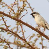 Wróbel pustynny, Desert Sparrow, Passer simplex, Aousserd, Sahara Zachodnia, 05.03.2016 (3) (Western Sahara)