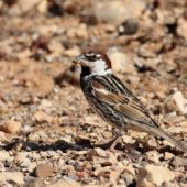 Wróbel śródziemnomorski, Spanish Sparrow, Passer hispaniolensis, Fuerteventura, 26.01.2016 (Wyspy Kanaryjskie, Hiszpania, Canary Islands, Spain)