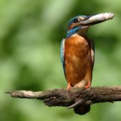 Zimorodek, Kingfisher, Alcedo attis, Żory, SLK, 07.05.2015 (1) (Polska, Poland)