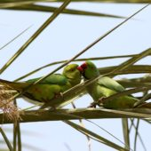 Aleksandretta obrożna, Rose-ringed Parakeet, Psittacula krameri, Tel Aviv, Izrael, 27.04.2015 (Israel)