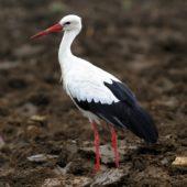 Bocian biały, White Stork, Ciconia ciconia, Gołuchowice, SLK, 27.08.2013