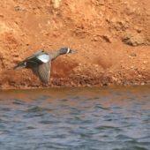 Cyranka modroskrzydła, Blue-winged Teal, Anas discors, Estaleiro Bucan, Boa Vista, Wyspy Zielonego Przylądka, 22.02.2015 (Cape Verde)