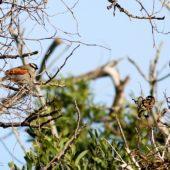 Czagra senegalska, Black-headed Bush Shrike, Tchagra senegalus, Massa, Maroko, 02.12.2012 (Morocco)