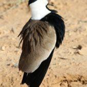 Czajka szponiasta, Spur-winged Plover, Hoplopterus spinosus, Eilat, Izrael, 28.04.2015 (4) (Israel)