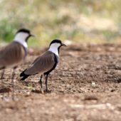 Czajka szponiasta, Spur-winged Plover, Hoplopterus spinosus, Eilat, Izrael, 28.04.2015 (2) (Israel)