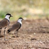 Czajka szponiasta, Spur-winged Plover, Hoplopterus spinosus, Eilat, Izrael, 28.04.2015 (1) (Israel)