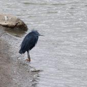 Czapla czarna, Black Heron, Egretta ardesiaca, Barragem de Poilão, Sao Tiago, Wyspy Zielonego Przylądka, 20.02.2015 (1) (Cape Verde)