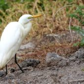 Czapla czarnonoga, Intermediate Egret, Egretta intermedia, Barragem de Poilão, Sao Tiago, Wyspy Zielonego Przylądka, 20.02.2015 (Cape Verde)