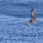 Czapla rafowa, Reef Heron, Egretta gularis, Raso, Wyspy Zielonego Przylądka, 24.02.2015 (Cape Verde)