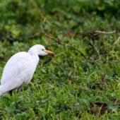 Czapla złotawa, Cattle egret, Bubulcus ibis, Oulalidia, Maroko, 26.11.2012 (Morocco)