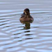 Czerniczka, Ring-necked Duck, Aythya collaris, Terceira, Azory, Portugalia, 24.10.2017 (2) (Azores, Portugal)