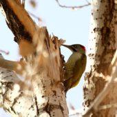 Dzięcioł algierski, Levaillant's Woodpecker, Picus vaillantii, Oukaimeden, Maroko, 24.11.2012 (Morocco)