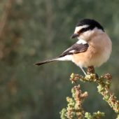 Dzierzba białoczelna, Masked Shrike, Lanius nubicus, Eilat, Izrael, 28.04.2015 (1) (Israel)